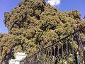 Arbol del Tule. - panoramio (2).jpg