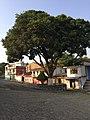 Arbol en Tuzamapan, en el municipio de Coatepec.Veracruz.jpg