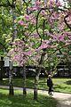 Arbres en fleurs dans le parc du Docteur Victor-Roy (de l'Hôtel de Ville).jpg