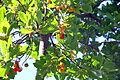 Arbutus unedo - Frutti 1.JPG
