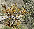 Arceuthobium divaricatum 1.jpg
