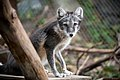 Arctic Fox Sitting in Summer Coat (45631112452).jpg