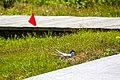 Arctic tern (28048698165).jpg
