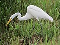 Ardea alba Garza real Great Egret (6227628839).jpg