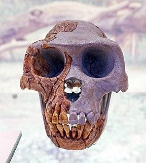 <i>Ardipithecus ramidus</i> Species of mammal (fossil)