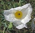 Argemone polyanthemos (white prickly poppy) (Castle Rock chalk badlands area, south of Quinter, Kansas, USA) 2 (19909240701).jpg