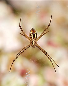 Argiope July 2012-3.jpg