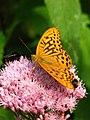 Argynnis paphia on a flower 01.jpg