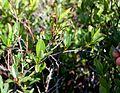 Aronia melanocarpa c (15725282374).jpg