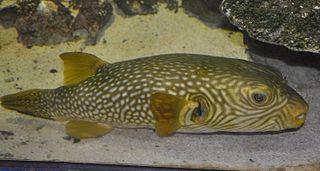 <i>Arothron reticularis</i> species of fish