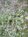 Artemisia absinthium003.jpg