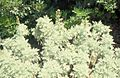 Artemisia arborescens in the first week of june 2000..jpg