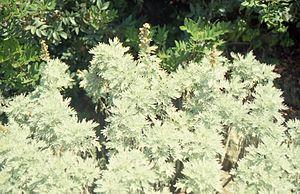 Artemisia arborescens - Image: Artemisia arborescens in the first week of june 2000