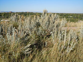 Anthemideae - Artemisia cana