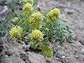 Artemisia spinosa-4-06-04.jpg
