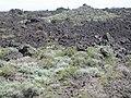 Artemisia tridentata wyomingensis (4430652594) (2).jpg