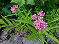 Asclepias incarnata - Swamp Milkweed.jpg