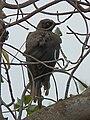 Ashy starling Lamprotornis unicolor in Tanzania 0323 cropped Nevit.jpg