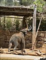 Asian-Elephant-Jerusalem-Jerusalem-Biblical-Zoo-IZE-343.jpg
