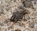 Asilidae Robber Fly (31795187353).jpg
