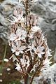 Asphodelus aestivus pm02.jpg