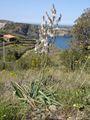 Asphodelus ramosus6.jpg
