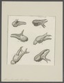 Astacus fluviatilis - - Print - Iconographia Zoologica - Special Collections University of Amsterdam - UBAINV0274 097 01 0008.tif