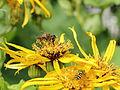 Asteraceae sp.-IMG 6109.jpg
