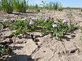 Astragalus cibarius (5882754452).jpg