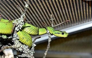Nitche's Bush Viper