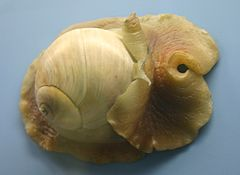 Atlantic Moon Snail 001.jpg