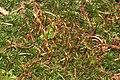 Atrichum undulatum (a, 144649-474758) 4457.jpg