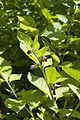 Atropa belladona eu 76 14062008 1.jpg