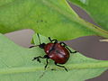 Attelabus nitens (Attelabidae) - Eichenblattroller (9008876851).jpg