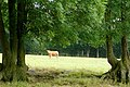 Attentive cow north of Dicker's Copse - geograph.org.uk - 1393969.jpg