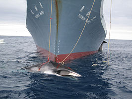 AustralianCustoms-WhalingInTheSouthernOcean 3.jpg