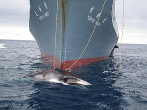 Antarctic minke whale - An Antarctic minke whale being hunted by the Japanese whaling vessel Yushin Maru, showing the coloration of the baleen. These whales are the main target of the controversial Japanese whaling program.