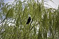 Australian Raven in a willow tree at Lake Albert.jpg