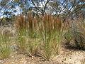 Austrostipa nodosa11 plant10 (8664551454).jpg