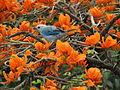 Azulejo entre las flores de un Bucare..JPG