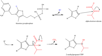 Branched-chain alpha-keto acid dehydrogenase complex - Figure 3: α-ketoisovalerate combines with TPP and is then decarboxylated