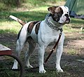 BUCKEYE 2010 ANCHOR BULLY RASCALZ.jpg