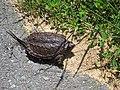 Baby Snapping Turtle (Chelydra serpentina) - panoramio.jpg