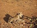 Baby hyena 2.jpg