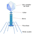 Bacteriòfag.png