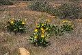 Balsamorhiza deltoidea 4501.JPG