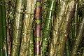 Bamboo plant of Lawachara National Park.jpg