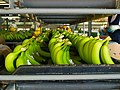 Banana Packaging Facility - San Manuel, Cortes, Honduras.jpg