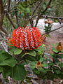 Banksia coccinea - Little Grove 2.jpg
