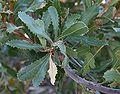 Banksia lemanniana foliage.jpg
